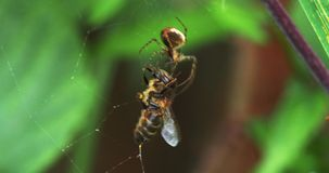 Europäer Honey Bee, API mellifera, Erwachsener eingeschlossen auf der Seide des Spinnennetzes, Normandie, stock video footage