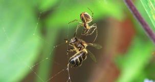 Europäer Honey Bee, API mellifera, Erwachsener eingeschlossen auf der Seide des Spinnennetzes, Normandie, stock video