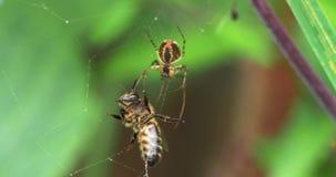 Europäer Honey Bee, API mellifera, Erwachsener eingeschlossen auf der Seide des Spinnennetzes, Normandie, stock footage