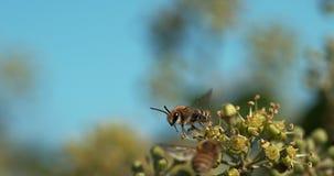 Europäer Honey Bee, API mellifera, Erwachsener im Flug über Efeu, Hederahelix, Normandie, stock footage