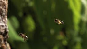 Europäer Honey Bee, API mellifera, erwachsenes Fliegen mit vollen Blütenstaubkörben der Anmerkung stock video