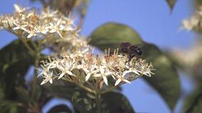 Europäer Honey Bee, API mellifera, erwachsenes Fliegen und sammeln Nektar von der weißen Blume stock footage