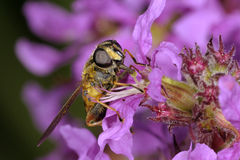 Europäer hoverfly, helophilus pendulus lizenzfreies stockfoto