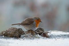 Europäer Robin auf Schnee Stockfotografie