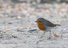 Europäer-Robin Chat Passerine Bird Erithacus-rubecula Lizenzfreies Stockfoto