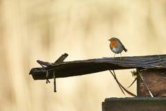 Europäer Robin (Erithacus rubecula) Stockbild
