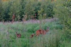 Europäer Roe Deer mit Nachkommenschaft Lizenzfreies Stockbild