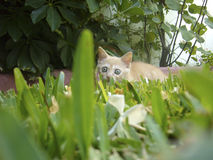 Europäercommon-Katze Lizenzfreies Stockfoto