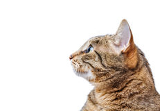 Europäisch Kurzhaar-Katze, die oben schaut Lizenzfreies Stockbild