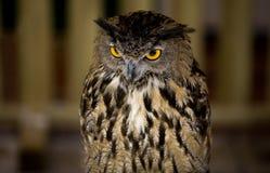 Europäische Adler-Eule 2 Stockfotografie