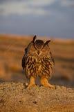 Europäische Adler-Eule Stockbild
