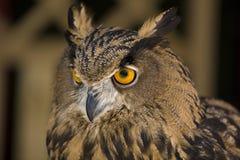 Europäische Adler-Eule 3 Stockfotografie