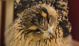 Europäische Adler-Eule 5 Stockfotos