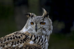 Europäische Adler-Eule Lizenzfreies Stockfoto