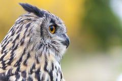 Europäische Adler-Eule Stockbilder