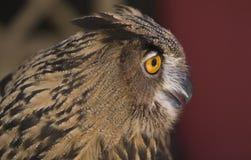 Europäische Adler-Eule 8 Lizenzfreie Stockbilder