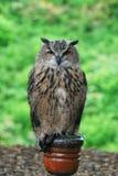 Europäische Adler-Eule auf einem Pfosten Lizenzfreie Stockfotos