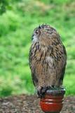 Europäische Adler-Eule auf einem Pfosten Stockfoto