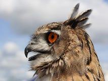 Europäische Adler-Eule (Bubo Bubo) Stockbilder