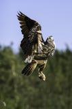 Europäische Adler-Eule, die auf Flug steigt Stockfotografie