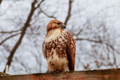 Europäische Adler-Eule eurasier Rosafarbene Lippen Große Augen klugheit Stockbilder