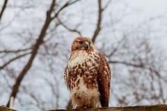 Europäische Adler-Eule eurasier Rosafarbene Lippen Große Augen klugheit Das schlechte Auge Stockfoto
