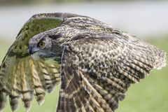 Europäische Adler-Eule Schließen Sie oben im Horizontalflugprofil Lizenzfreie Stockfotos
