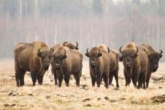 Europäische Bisone stockfotografie