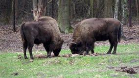 Europäische Bisone stock video footage