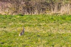 Europäische braune Hasen, Lepus europaeus Stockfotos