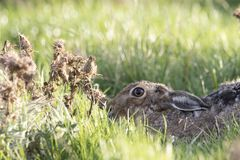 Europäische braune Hasen, Sitzen, legend und laufen unter hohes Gras Lizenzfreie Stockfotografie