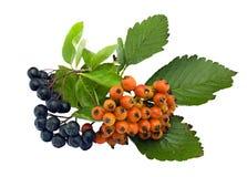 Europäische Eberesche und schwarzer Chokeberry Stockfotos