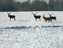 Europäische edle Rotwild im wilden, im schneebedeckten Wald auf der Suche nach Lebensmittel, am Ende des Winters Stockbild
