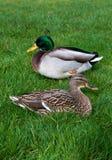 Europäische Enten der Paare, die auf dem Gras sitzen lizenzfreie stockfotografie