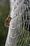Europäische Gartenkreuzspinne (Araneus diadematus) Stockfotos