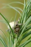 Europäische Gartenspinne Stockfotografie