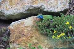 Europäische grüne Eidechse Stockfotos