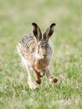 Europäische Hasen (Lepus europaeus) Stockfotografie