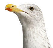 Europäische Hering-Möve, Larus argentatus Lizenzfreies Stockfoto