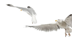 Europäische Hering-Möven, Larus argentatus Stockbilder