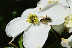 Europäische Honigbiene API Mellifera, das auf weißer Blume von blühender Hartriegel Kornelkirsche Florida klettert Lizenzfreie Stockfotografie