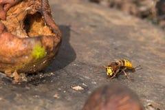 Europäische Hornisse, die auf alter verwitterter naher fauler Oberflächenbirne sitzt Baum auf dem Gebiet stockfoto