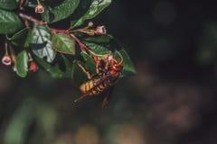 Europäische Hornisse, die an einem Zweig und an einem trinkenden süßen Nektar von der Blume des glänzenden Cotoneaster hängt Stockfotografie