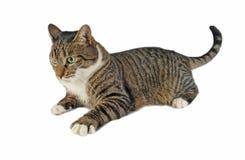 Europäische Katze Lizenzfreies Stockbild