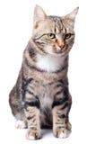 Europäische Katze in der Frontseite Lizenzfreies Stockbild