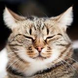 Europäische Katze in der Frontseite Lizenzfreie Stockfotos