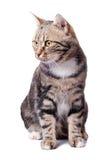 Europäische Katze in der Frontseite auf einem Weiß Lizenzfreie Stockbilder