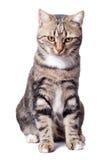 Europäische Katze in der Frontseite auf einem Weiß Stockbild