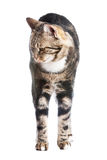 Europäische Katze in der Frontseite auf einem weißen Hintergrund Lizenzfreies Stockbild