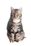 Europäische Katze in der Frontseite auf einem weißen Hintergrund Lizenzfreie Stockfotografie